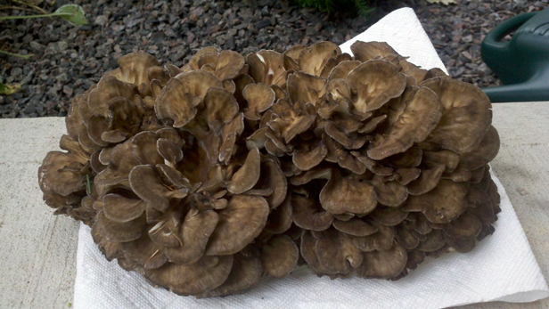 Hen-Of-The-Woods Mushrooms